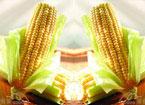 吃玉米能吃出健康