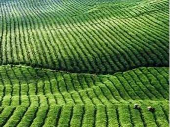 茶树精油会使皮肤变黑吗