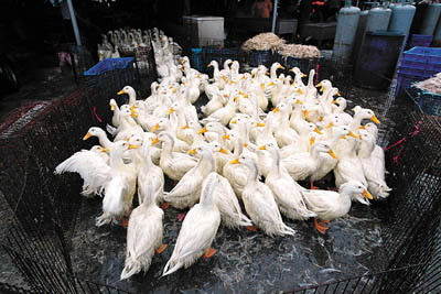 广东湛江发生禽流感疫情,专家提醒科学预防很重要